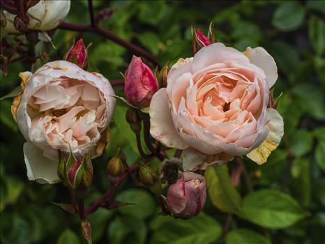 roses.jpg by WPC-208