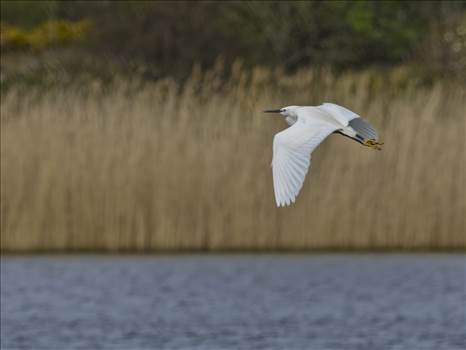 Little egret on the wing.jpg by WPC-208