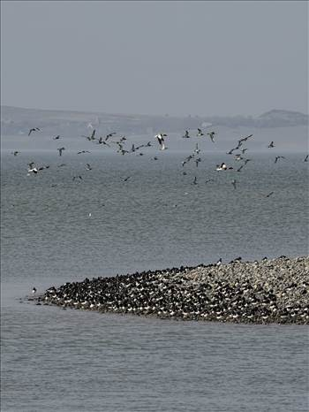 Curlews n Shelducks.jpg by WPC-208