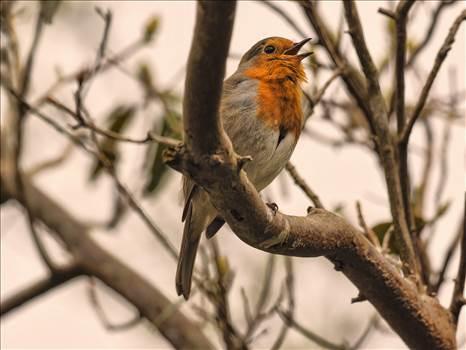 robin on branch.jpg by WPC-208