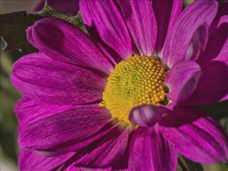 chrysanthemum.JPG by WPC-208