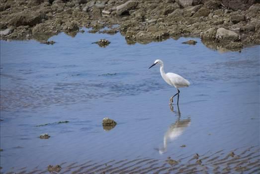 Little Egret.jpg by WPC-208