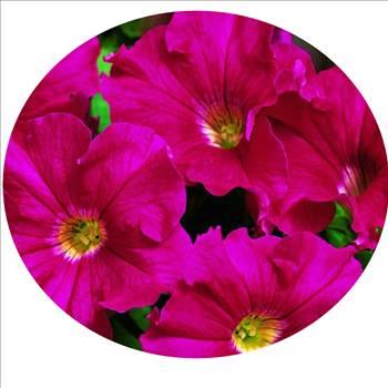 Petunia Ultra Rose Oval.JPG by Cassandra