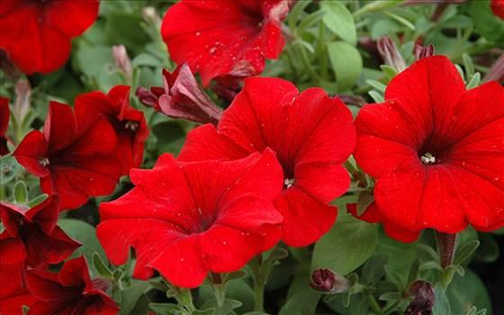 Petunia Freedom Red.JPG by Cassandra