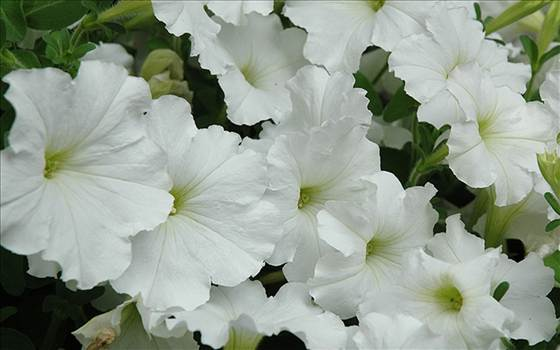 Petunia Freedom White.JPG by Cassandra