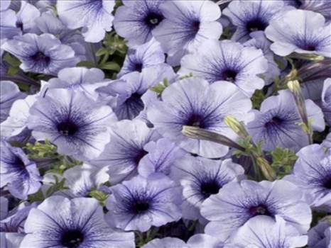 Petunia Celebrity Blue Ice.JPG by Cassandra