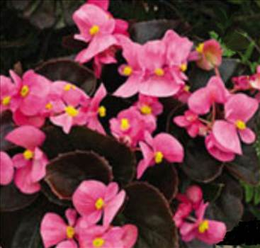 Begonia bada boom Pink BL BF.JPG by Cassandra