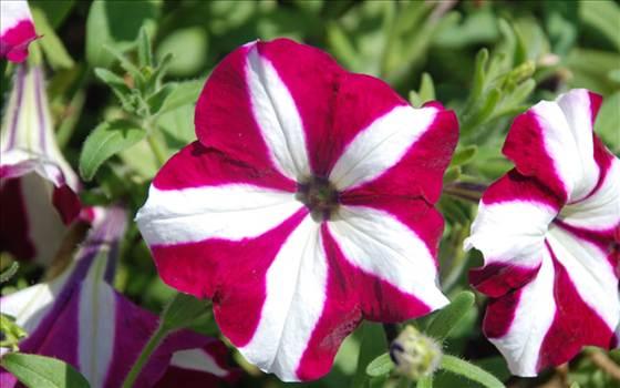 Petunia Freedom Burgundy Star.JPG by Cassandra
