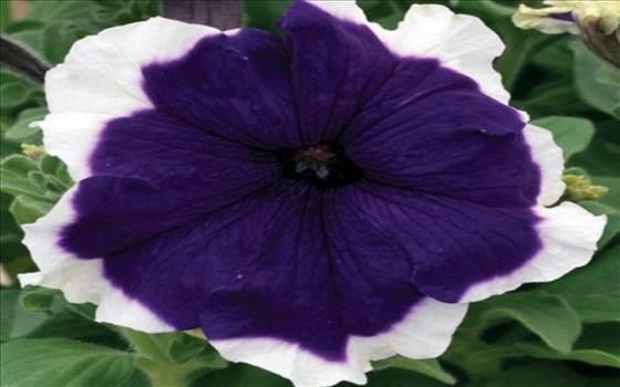 Petunia Frost Blue II.JPG by Cassandra
