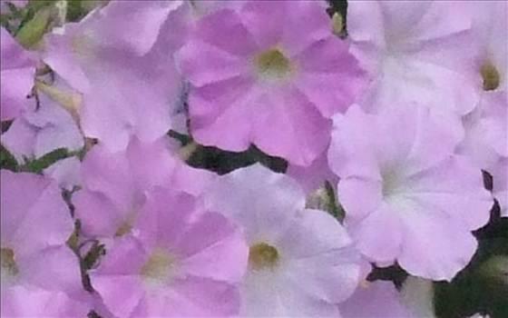 Petunia Freedom lavender.JPG by Cassandra