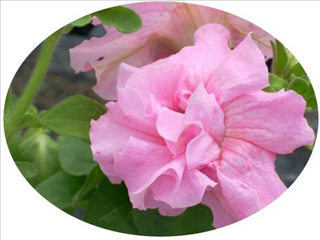 Petunia Artist Double Pink Oval.JPG by Cassandra