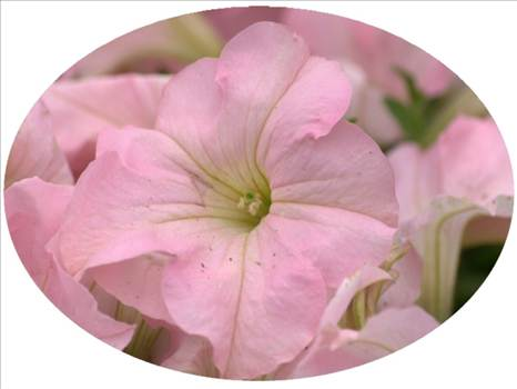 Petunia Dreams Appleblossom by Cassandra