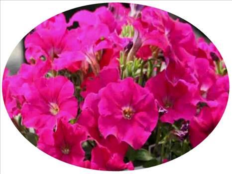 Petunia Freedom Carmine Oval.JPG by Cassandra