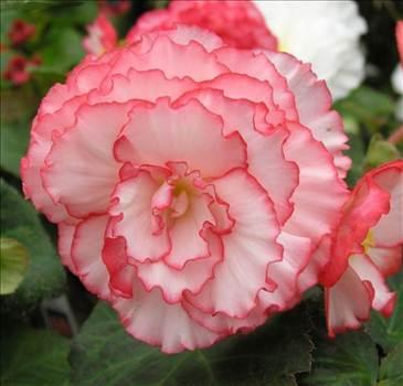 Begonia Nonstop Rose Petticoat.jpg by Cassandra