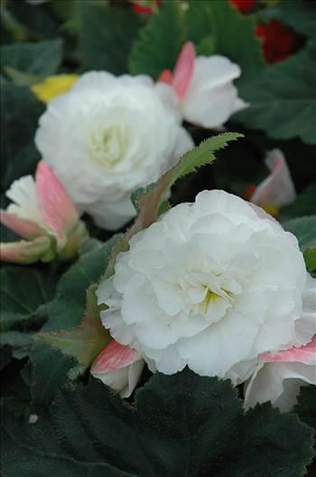 Begonia Nonstop Appleblossom.jpg by Cassandra