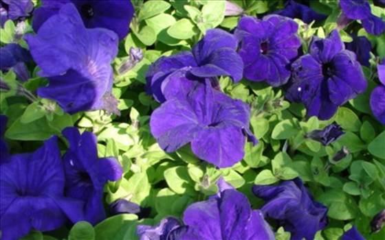 Petunia Freedom blue.JPG by Cassandra