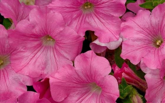 Petunia Freedom Pink.JPG by Cassandra