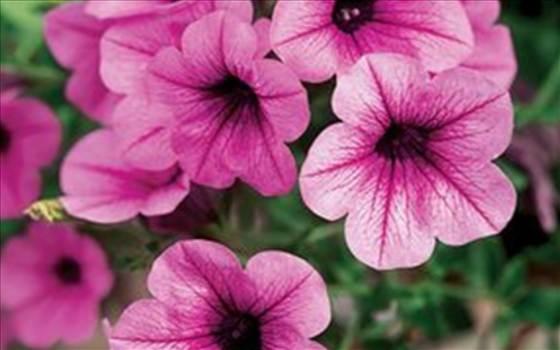 Petunia Freedom Pink Vein.JPG by Cassandra