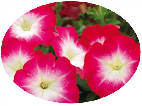 Petunia Freedom Red Halo Oval.JPG by Cassandra