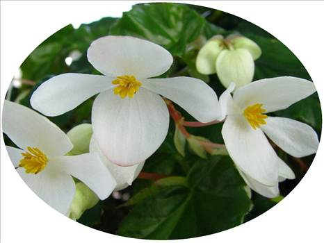 Begonia Super Olympia White by Cassandra