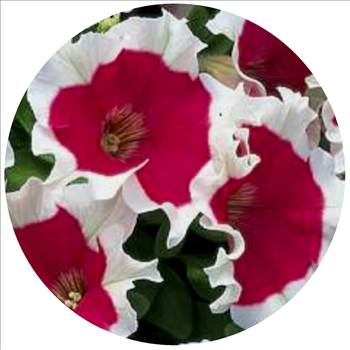 Petunia hula hoop red oval.JPG by Cassandra