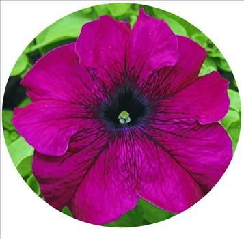 Petunia Ultra Burgundy Oval.JPG by Cassandra