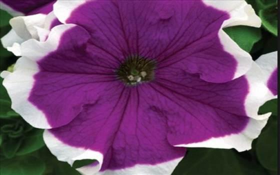 Petunia Frost Blue.JPG by Cassandra