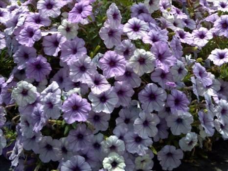 Petunia Freedom Blueberry Vein.JPG by Cassandra
