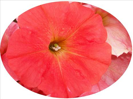 Petunia Freedom Coral Oval.JPG by Cassandra