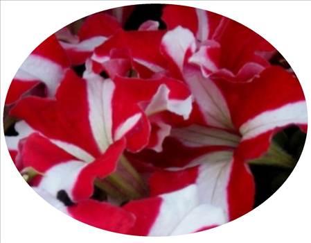 Petunia Ultra Red Star Oval.JPG by Cassandra