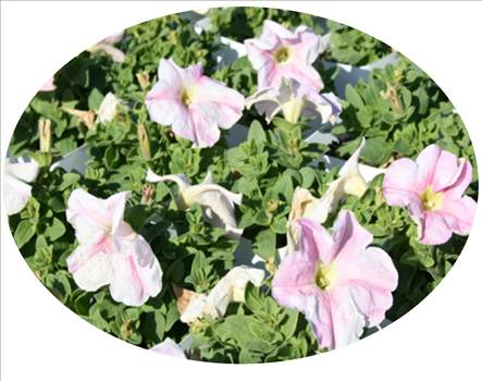 petunia super cascade blush oval.JPG by Cassandra