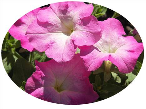 Petunia Freedom Pink Morn Oval.JPG by Cassandra