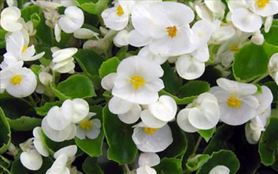 Begonia Bada Bing White.JPG by Cassandra