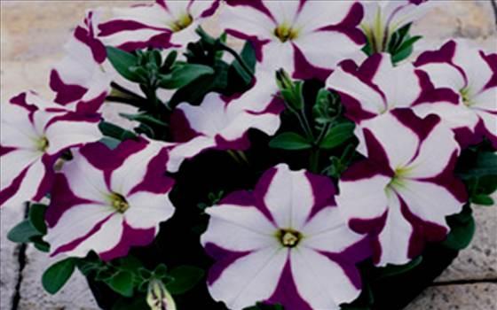 Petunia Freedom Violet Star.JPG by Cassandra