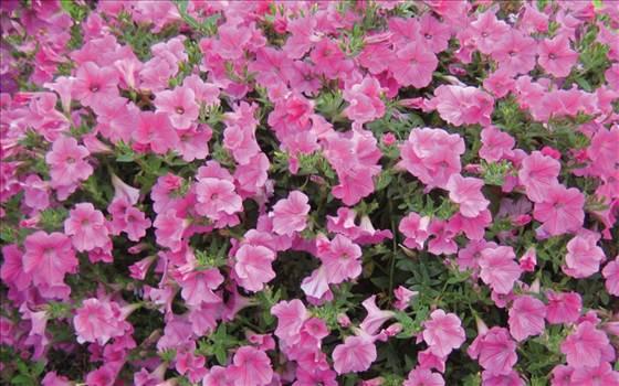 Petunia Freedom Velvet.JPG by Cassandra