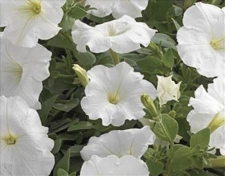 Petunia Ultra White Unframed.JPG by Cassandra