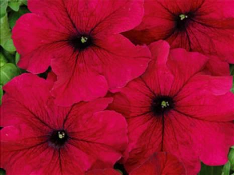 Petunia Freedom burgundy.JPG by Cassandra