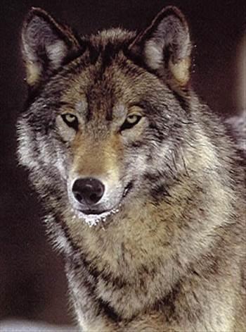 Wolf1.jpg -