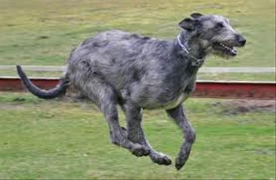 irishwolfhound.jpg -