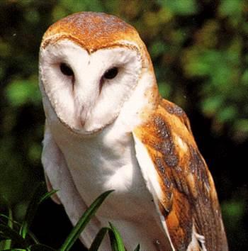 pic-barn-owl-seaworld-org.gif by Charbonne