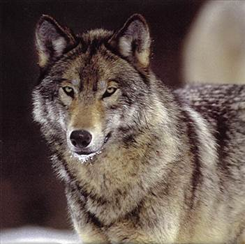 wolf11_zps313cca41.jpg -