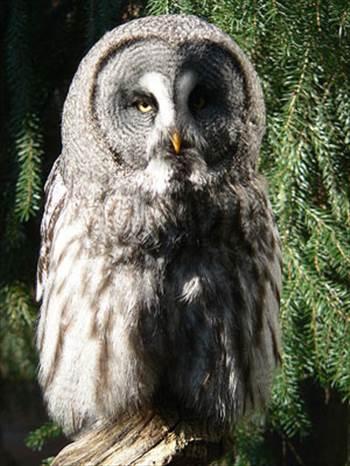 Great-Grey_Owl-Strix_nebulosa.jpg -