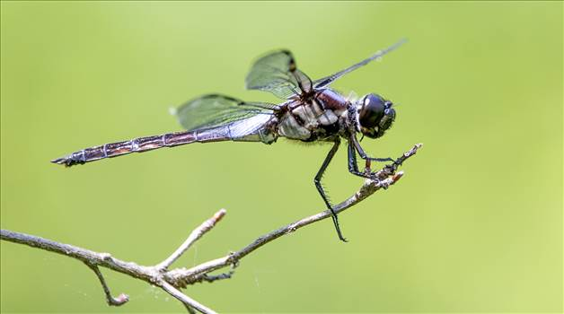 018A9117 dragon fly.jpg by WPC-10494