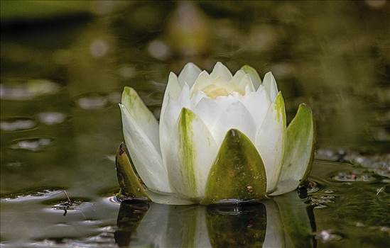 018A1723 american white water lily.jpg by WPC-10494