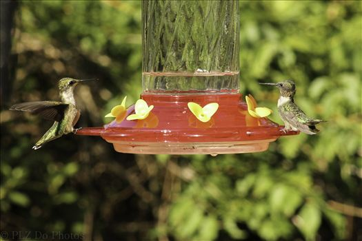 Hummingbirds-7936.jpg by Patricia Zyzyk
