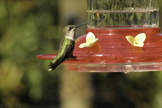 Hummingbirds-8014.jpg by Patricia Zyzyk
