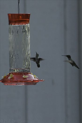 Hummingbirds-8301.jpg by Patricia Zyzyk