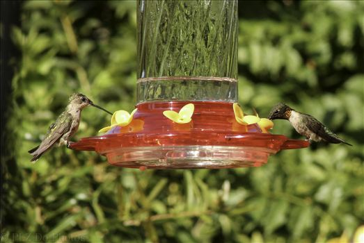 Hummingbirds-7904.jpg by Patricia Zyzyk