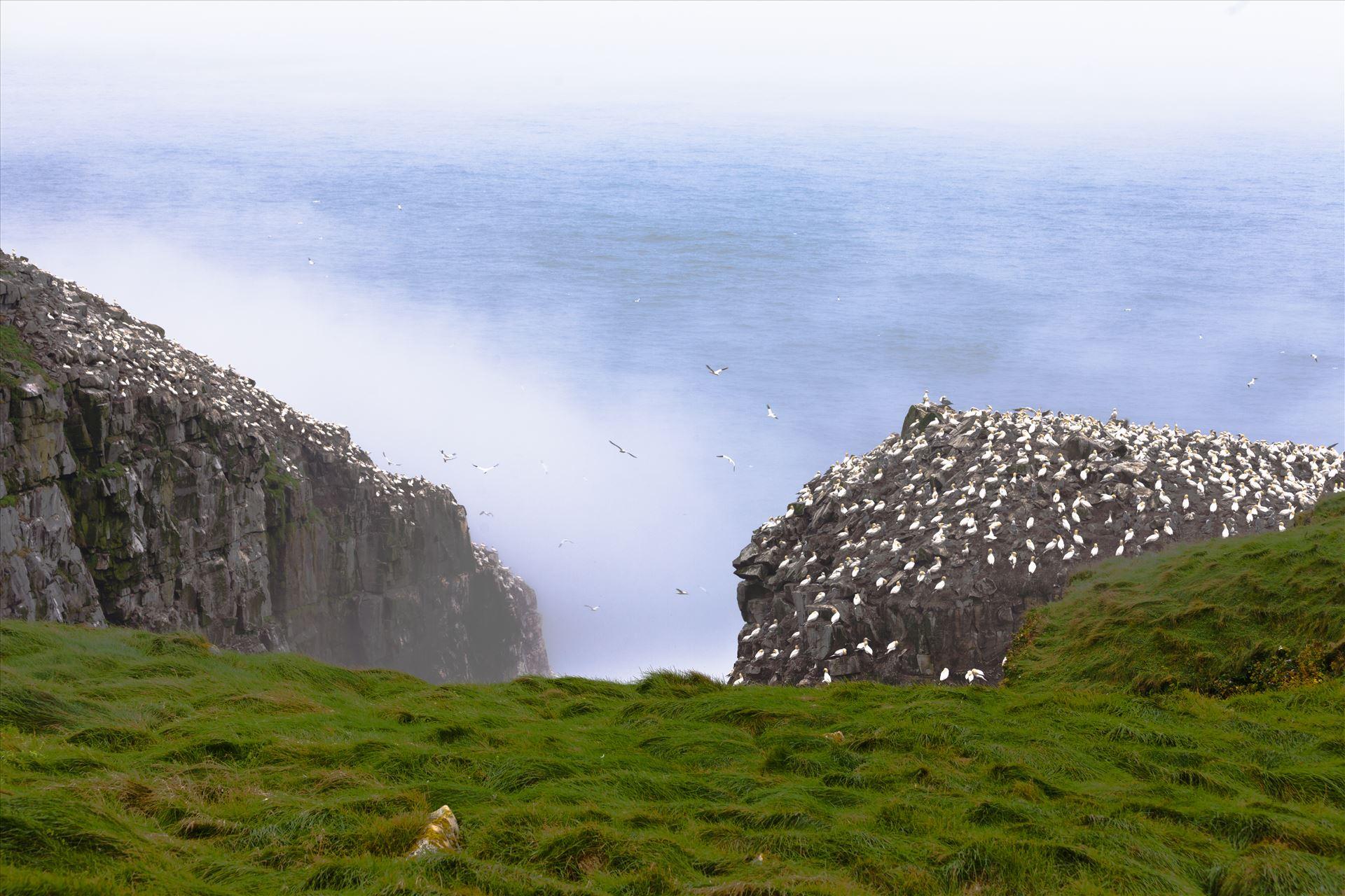 Colony of breeding Northern Gannets, Morus bassanus, on Cape St Marys, Newfoundland, NL, Canada Colony of breeding Northern Gannets, Morus bassanus, on Cape St Marys, Newfoundland, NL, Canada by Imago Borealis