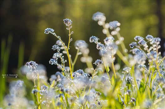 Forget me not -